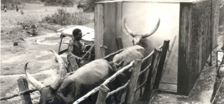 Cattle being driven through the Spray Race in Ankole during Sir Fredrick Crawford's tour in July 1959